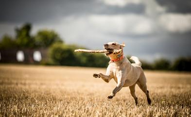 The Golden Labrador © SAJ