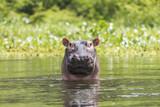 Nile Hippo - 221473660
