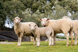 Group of adult sheep and lamb staring in pasture with holm oaks. - 221474051