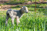 Newborn lamb eating fresh grass in the meadow. Spring and sunny day. Alburquerque, Extremadura, Spain. - 221474095