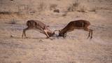 Impala in Etosha National Park, Namibia - 221479897