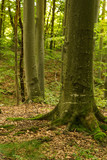 Beech forest, the main forest-forming species of Europe - 221481842