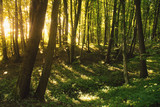 Beech forest, the main forest-forming species of Europe - 221482223