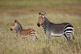 Cape mountain zebra (Equus zebra) mare with foal, Mountain Zebra National Park, South Africa. - 221485655