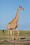 A giraffe (Giraffa camelopardalis) on the plains of Etosha National Park, Namibia. - 221485862