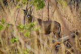 Antilope versteckt sich im Dickicht, Mole Nationalpark, Northern Region, Ghana - 221497876