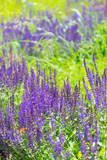 Lavender bush in garden - 221502096