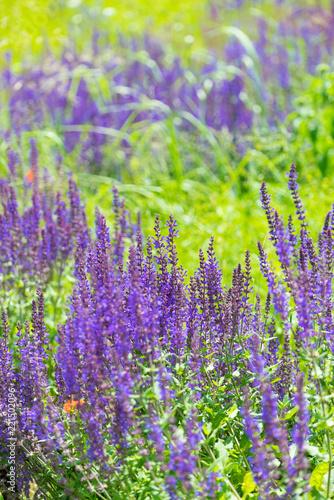 Lavender bush in garden