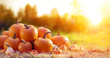 Thanksgiving - Ripe Pumpkins In Field At Sunset - 221504225
