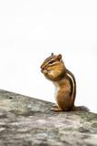 Chipmunk eating in the garden - 221511288
