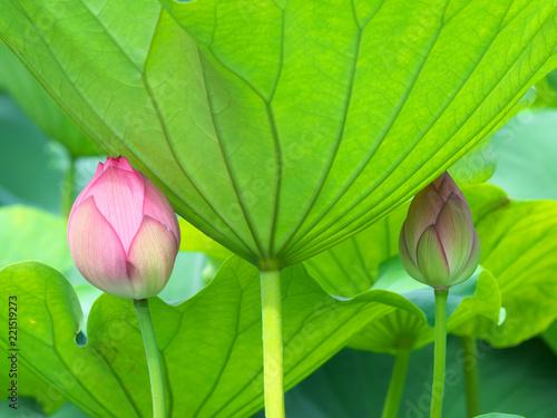 Leinwandbild Motiv 蓮の花とつぼみ