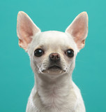 Chihuahua Dog  Isolated  on Blue Background in studio