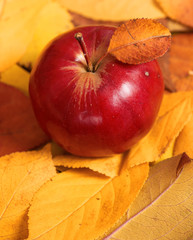 autumn harvest - one red apple is on fallen yellow leaves. Perfect background for autumn season.