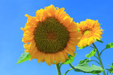 sunflower - 221552454