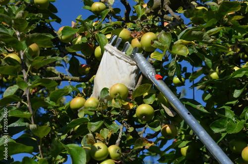 Foto Murales Apfelernte mit Apfelpflücker im Obstgarten