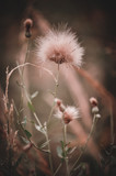 Field with Meadow Grass in backlight. Sunny day with soft blurred background. Colorful garden in summer time. closeup, soft toning. Nature concept. A place for your inscription. - 221562006