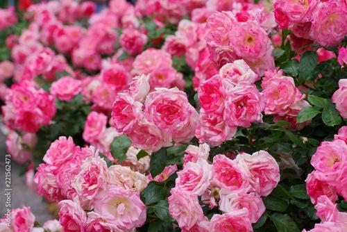 Spring roses in various varieties  - 221562473