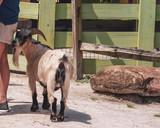 Barnyard Goat - 221564617