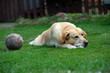 Old labrador dog with ball on the grass - 221578207