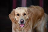 close up on golden retriver labrador dog - 221578219