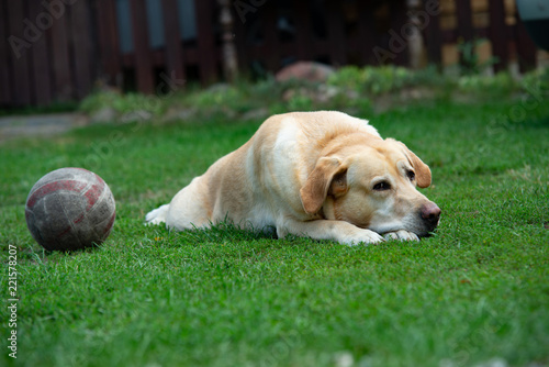 Old labrador dog with ball on the grass