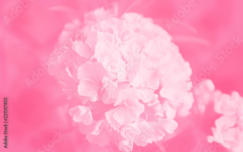 background, backdrop, pink, flower, nature, floral, rose, peony, isolated, white, blossom, flora, beauty, plant, petal, flowers, spring, bloom, abstract, carnation, beautiful, petals, macro, texture - 221587803