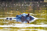 Nilpferd im Chobe River - 221596058