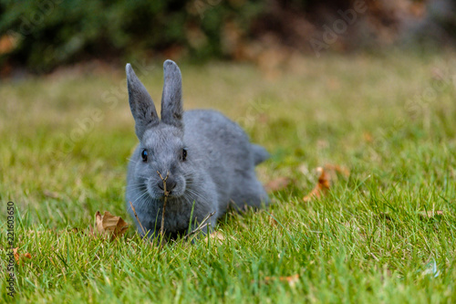Fototapeta adorable grey bunny hiding behind a tiny branch on the ground