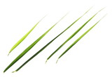 set green leaves common bulrush, isolated on white background, clipping path - 221604459