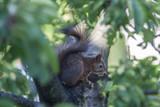 Eichhörnchen - 221614832