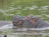 African hippopotamus on river, Botswana - 221618452