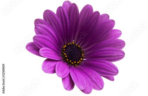 Osteosperumum Flower Daisy - 221618619