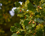 acorns on a tree with leaves