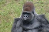 Western lowland gorilla - 221624279