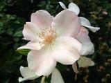 Heckenrose, Rosa canina - 221624417