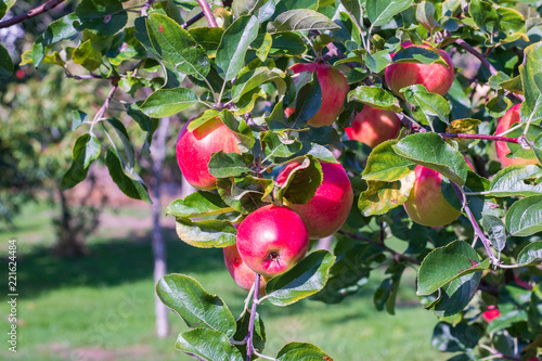 Foto Murales red apples on a tree