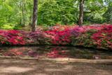 Blooming Azaleas at Still Pond in Isabella Plantation, Richmond Park