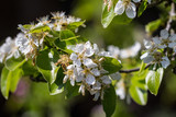 Pear blossoms in sunlight - 221630849