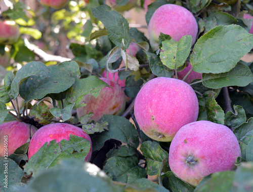 Foto Murales bright red apples ripen on a tree branch in summer and autumn in the garden for a vitamin healthy diet