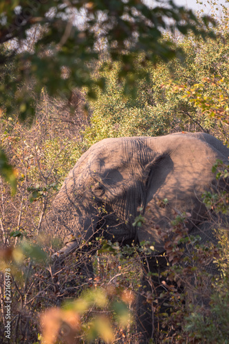Fototapeta Elephants close up grazing in Zambezi Private Game Reserve, Zimbabwe