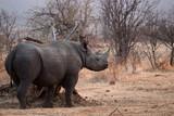 Rhinoceros in Zambezi Private Game Reserve, Zimbabwe - 221652400