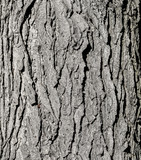Tree bark texture. Grey old oak tree close up. Tree bark natural background. Organic texture. Natural background