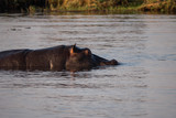 Hippos in Chobe River, Botswana - 221654043