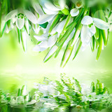 Snowdrops flower blossom background