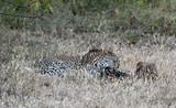 Leopard im Moremi Reserve - 221656892