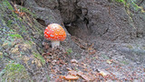 Fly agaric in the forest - 221659454
