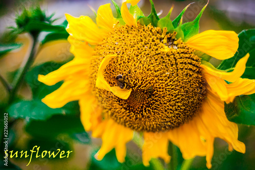Fototapeta sunflower inscription on the photo