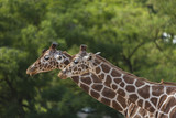 Couple of giraffes - 221666831