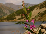 Close-up photo of pink flower and Tatra Mountains as background, Poland