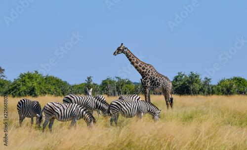 Fototapeta Giraffe in Chobe National Park
